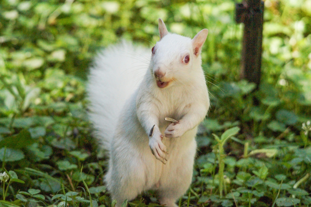 Photo of a albino squirl taken by Karen, MNCS Staff.